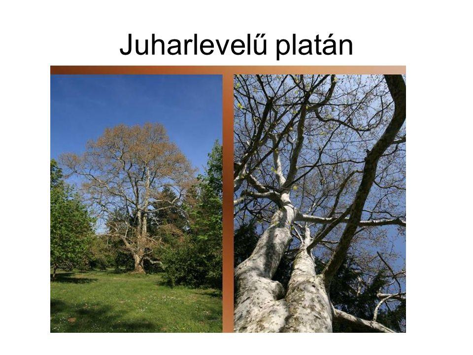 Juharlevelű platán