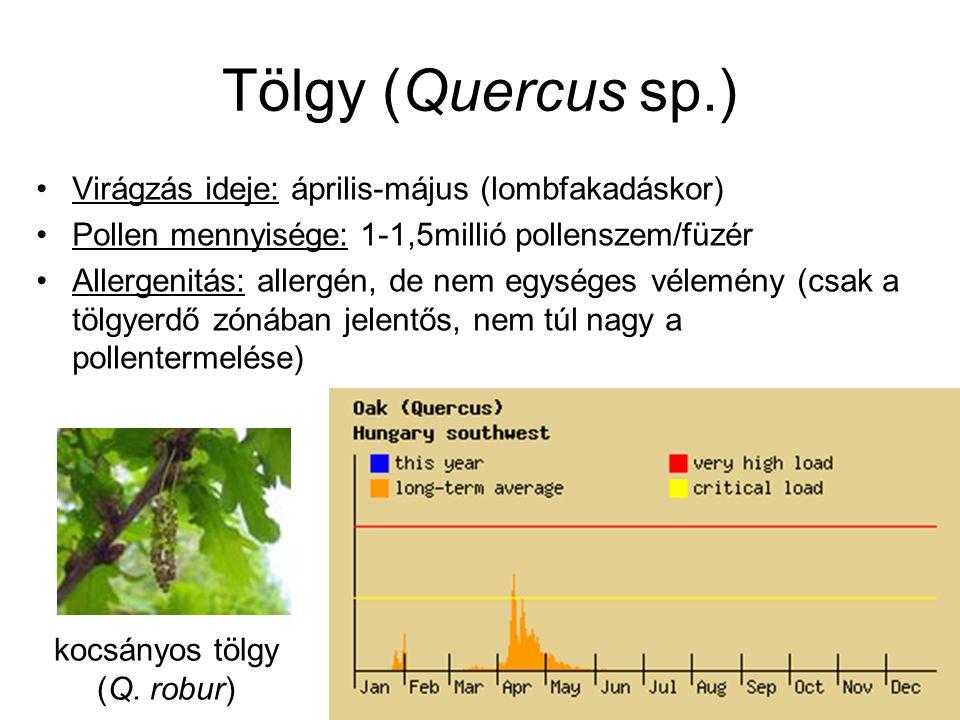 Tölgy (Quercus sp.) Virágzás ideje: április-május (lombfakadáskor) Pollen mennyisége: 1-1,5millió pollenszem/füzér Allergenitás: allergén, de nem egys
