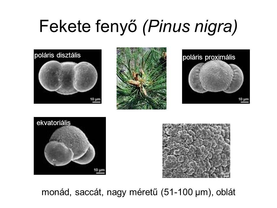Fekete fenyő (Pinus nigra) poláris disztális poláris proximális ekvatoriális monád, saccát, nagy méretű (51-100 µm), oblát