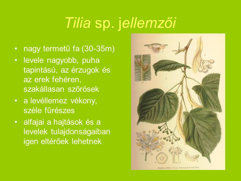 Tilia sp. jellemzői nagy termetű fa (30-35m) levele nagyobb, puha tapintású, az érzugok és az erek fehéren, szakállasan szőrösek a levéllemez vékony,