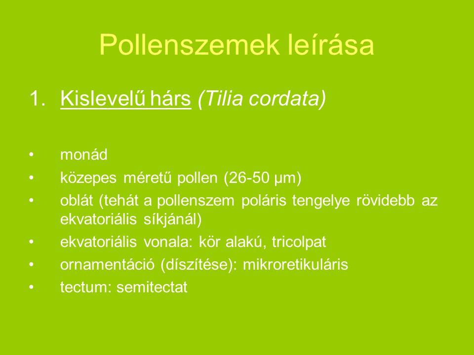 Pollenszemek leírása 1.Kislevelű hárs (Tilia cordata) monád közepes méretű pollen (26-50 μm) oblát (tehát a pollenszem poláris tengelye rövidebb az ek