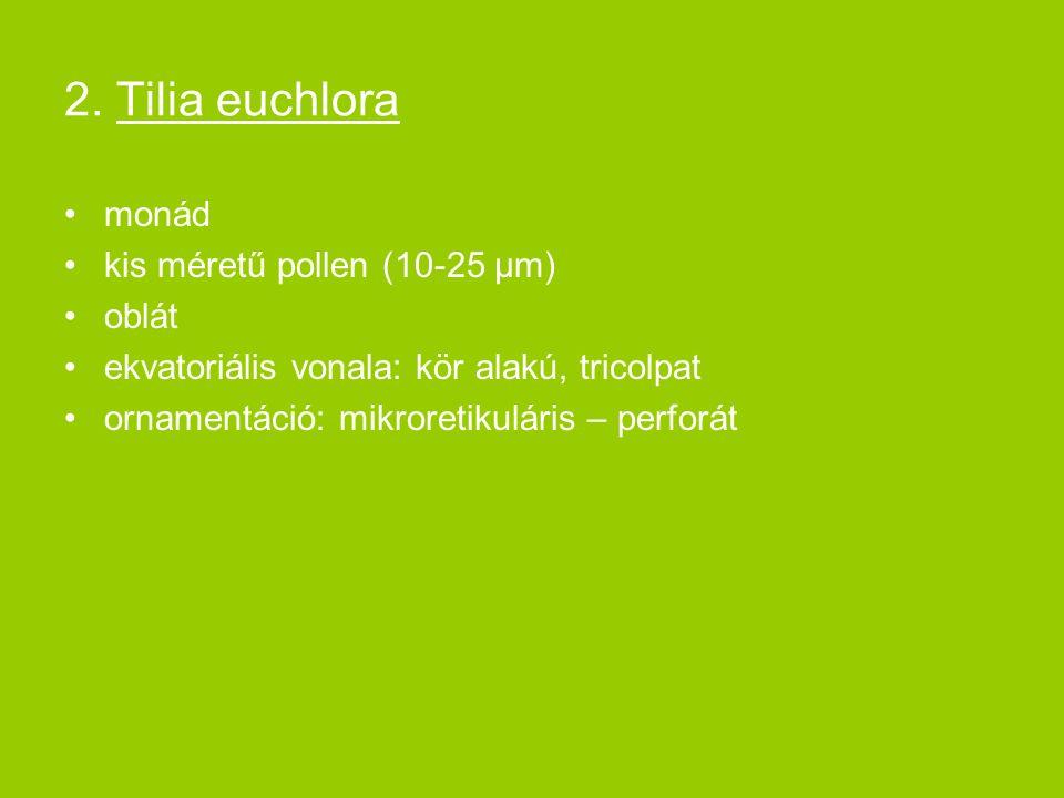 2. Tilia euchlora monád kis méretű pollen (10-25 μm) oblát ekvatoriális vonala: kör alakú, tricolpat ornamentáció: mikroretikuláris – perforát