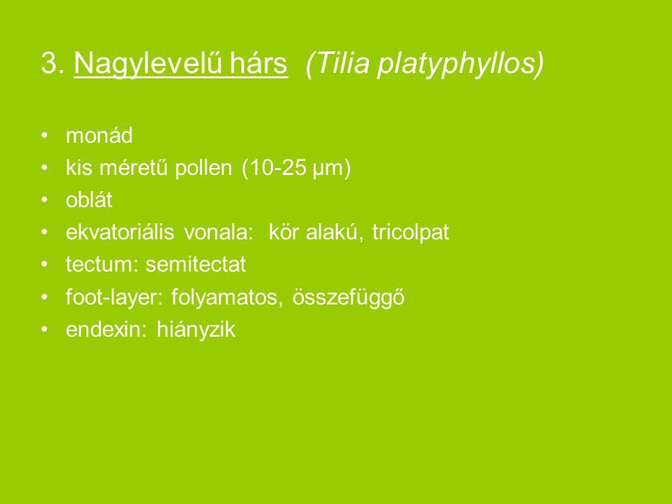 3. Nagylevelű hárs (Tilia platyphyllos) monád kis méretű pollen (10-25 μm) oblát ekvatoriális vonala: kör alakú, tricolpat tectum: semitectat foot-lay