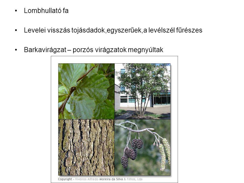 Lombhullató fa Levelei visszás tojásdadok,egyszerűek,a levélszél fűrészes Barkavirágzat – porzós virágzatok megnyúltak