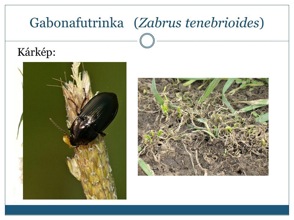 Gabonafutrinka (Zabrus tenebrioides) Kárkép: