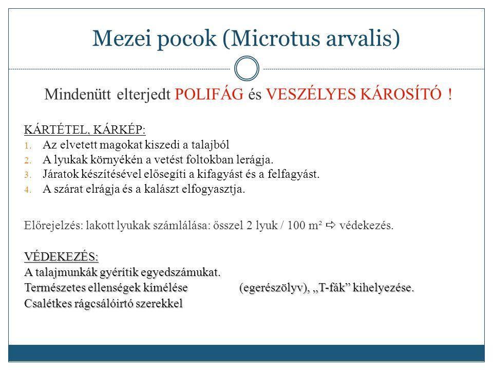 Mezei pocok (Microtus arvalis) Mindenütt elterjedt POLIFÁG és VESZÉLYES KÁROSÍTÓ .
