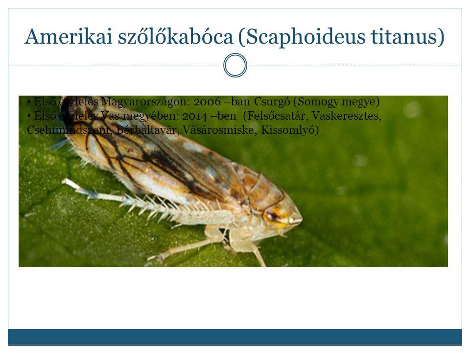 Amerikai szőlőkabóca (Scaphoideus titanus) Első észlelés Magyarországon: 2006 –ban Csurgó (Somogy megye) Első észlelés Vas megyében: 2014 –ben (Felsőcsatár, Vaskeresztes, Csehimindszent, Bérbaltavár, Vásárosmiske, Kissomlyó)
