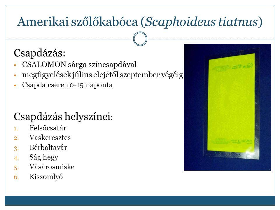 Amerikai szőlőkabóca (Scaphoideus tiatnus) Csapdázás: CSALOMON sárga színcsapdával megfigyelések július elejétől szeptember végéig Csapda csere 10-15 naponta Csapdázás helyszínei : 1.