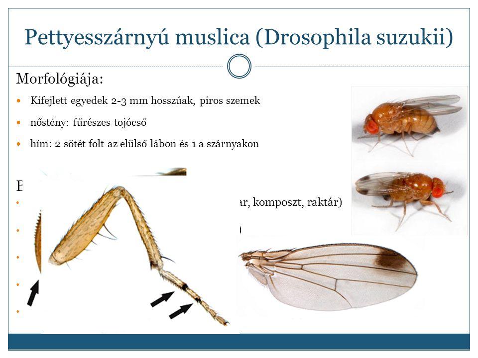 Pettyesszárnyú muslica (Drosophila suzukii) Morfológiája: Kifejlett egyedek 2-3 mm hosszúak, piros szemek nőstény: fűrészes tojócső hím: 2 sötét folt az elülső lábon és 1 a szárnyakon Biológia : 3-15 nemzedék /imágó /védett helyen (avar, komposzt, raktár) élettartam: pár hét – 300 nap (fogságban) 1-3 pete / gyümölcs / nőstény, 7-16 pete / nap / nőstény .