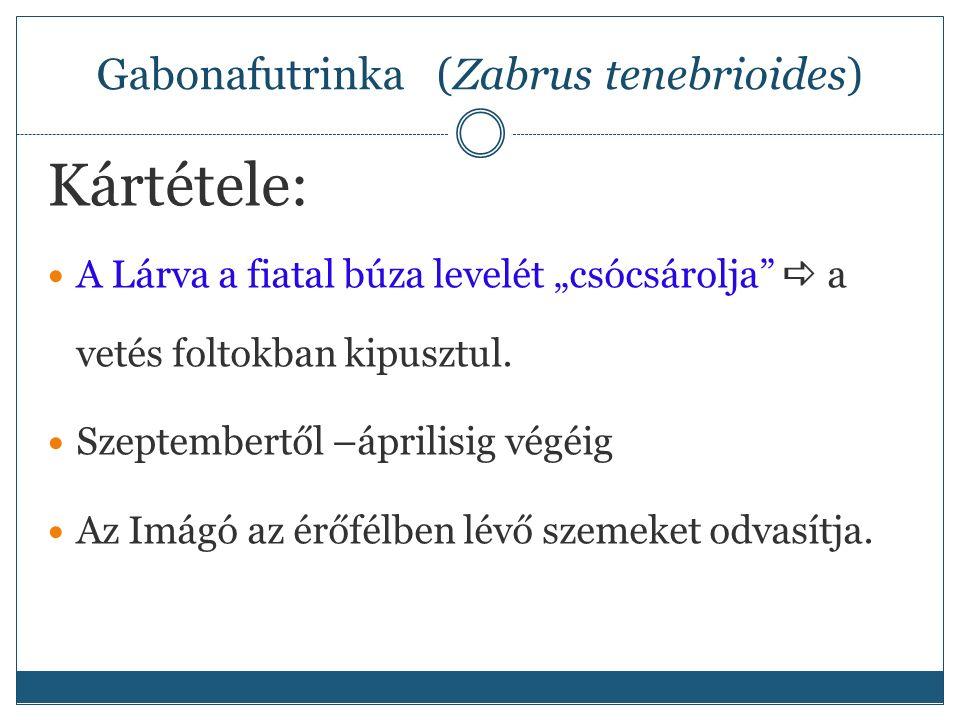 """Gabonafutrinka (Zabrus tenebrioides) Kártétele: A Lárva a fiatal búza levelét """"csócsárolja  a vetés foltokban kipusztul."""