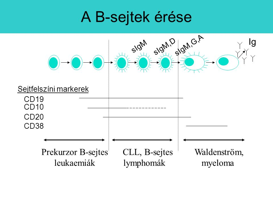 Prekurzor B-sejtes leukaemiák CLL, B-sejtes lymphomák Waldenström, myeloma CD19 CD10 CD20 CD38 Sejtfelszíni markerek sIgM sIgM,D sIgM,G,A Ig A B-sejtek érése