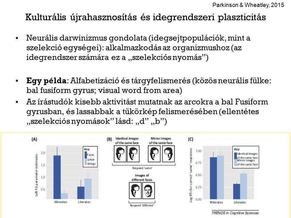 """Kulturális újrahasznosítás és idegrendszeri plaszticitás Neurális darwinizmus gondolata (idegsejtpopulációk, mint a szelekció egységei): alkalmazkodás az organizmushoz (az idegrendszer számára ez a """"szelekciós nyomás ) Egy példa: Alfabetizáció és tárgyfelismerés (közös neurális fülke: bal fusiform gyrus; visual word from area) Az írástudók kisebb aktivitást mutatnak az arcokra a bal Fusiform gyrusban, és lassabbak a tükörkép felismerésében (ellentétes """"szelekciós nyomások lásd: """"d """"b ) Parkinson & Wheatley, 2015"""