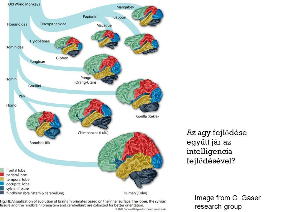 Az agy fejl ő dése együtt jár az intelligencia fejl ő désével Image from C. Gaser research group
