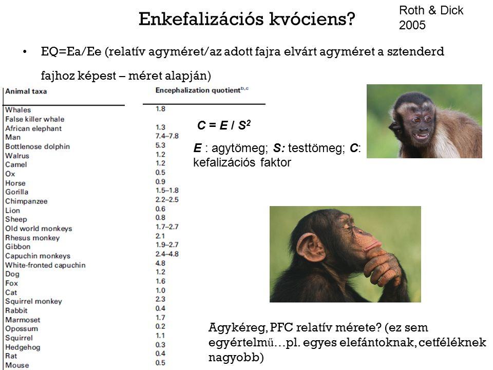Enkefalizációs kvóciens? EQ=Ea/Ee (relatív agyméret/az adott fajra elvárt agyméret a sztenderd fajhoz képest – méret alapján ) Agykéreg, PFC relatív m