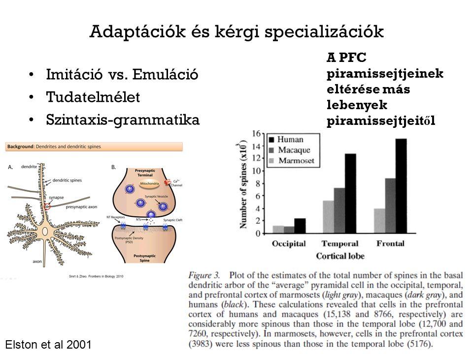 Adaptációk és kérgi specializációk Imitáció vs.