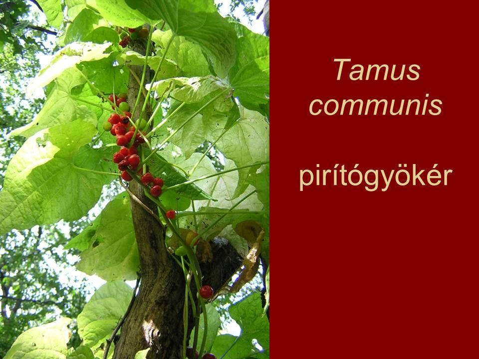 Tamus communis pirítógyökér