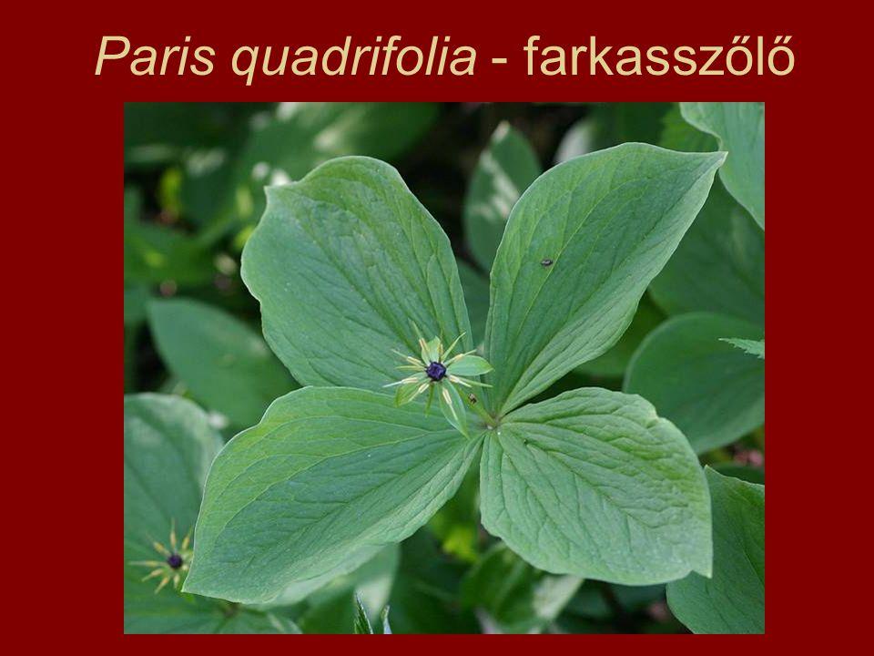 Paris quadrifolia - farkasszőlő