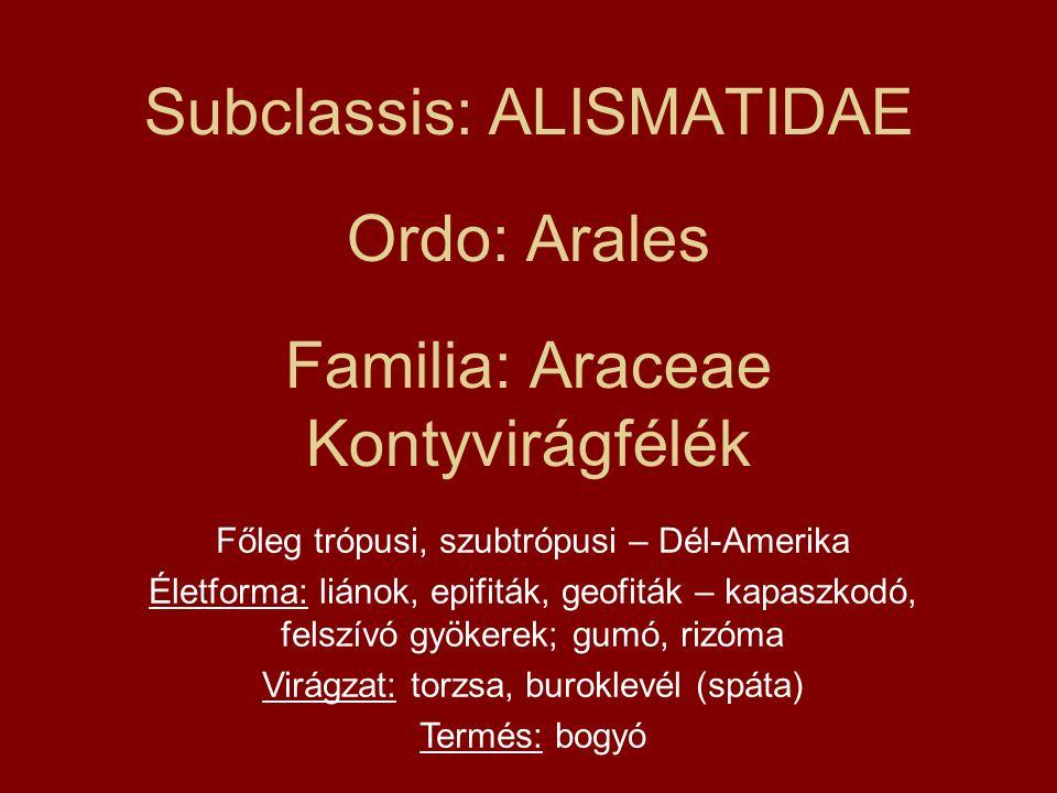 Subclassis: ALISMATIDAE Ordo: Arales Familia: Araceae Kontyvirágfélék Főleg trópusi, szubtrópusi – Dél-Amerika Életforma: liánok, epifiták, geofiták –