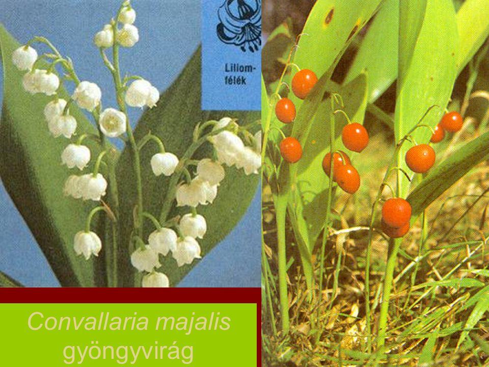 Convallaria majalis gyöngyvirág