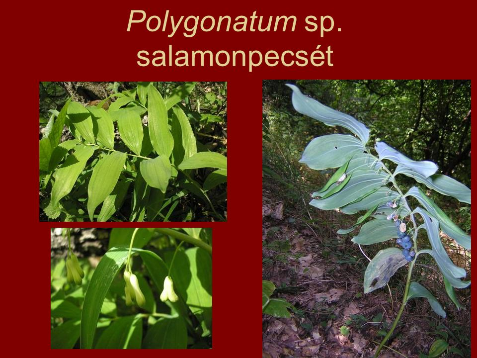 Polygonatum sp. salamonpecsét