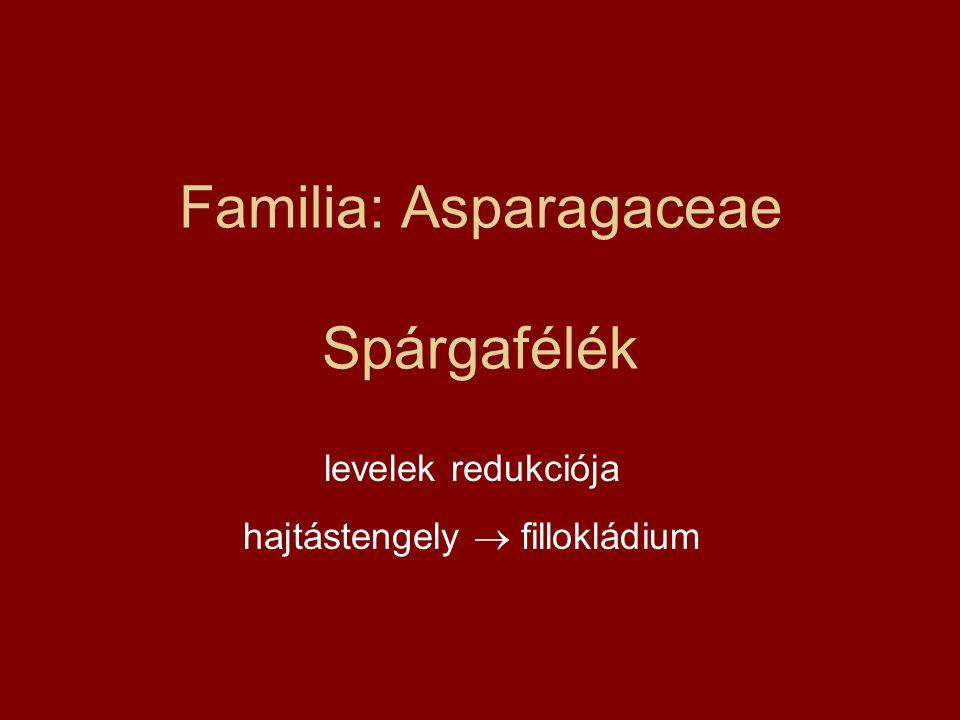 Familia: Asparagaceae Spárgafélék levelek redukciója hajtástengely  fillokládium