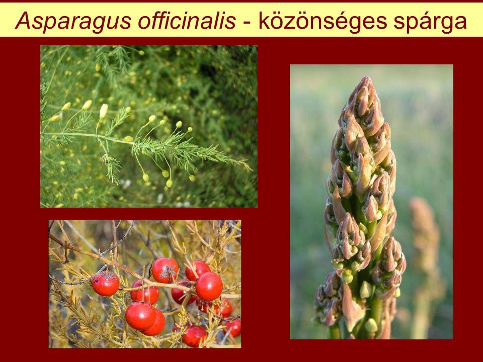 Asparagus officinalis - közönséges spárga