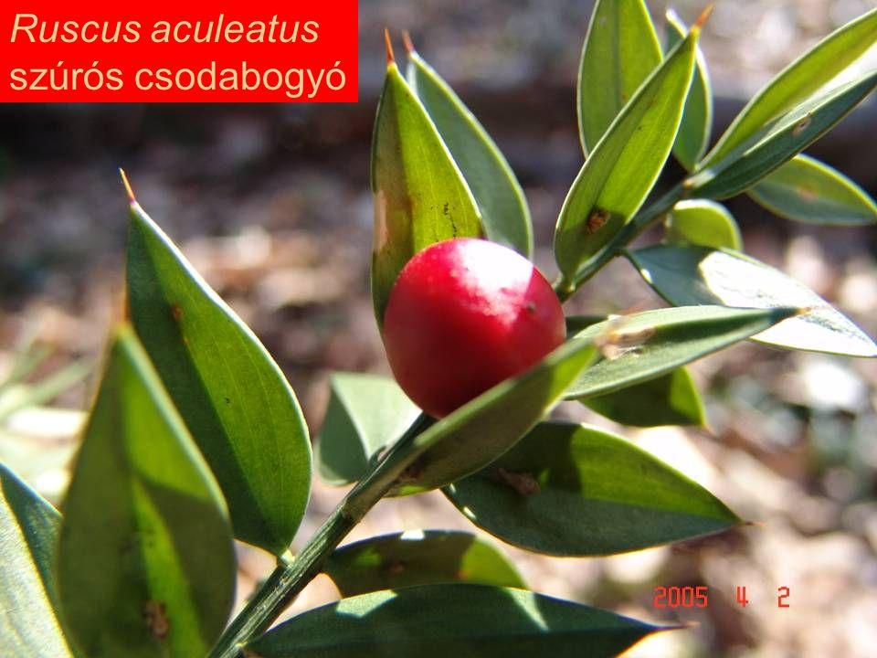 Ruscus aculeatus szúrós csodabogyó