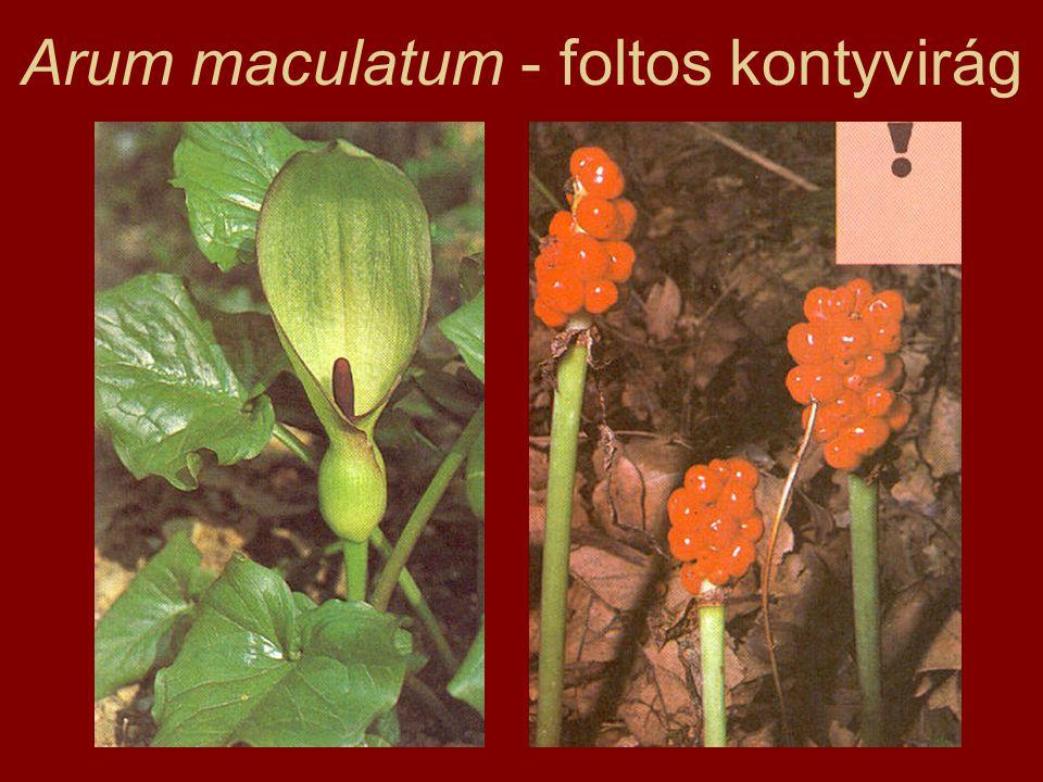 Arum maculatum - foltos kontyvirág