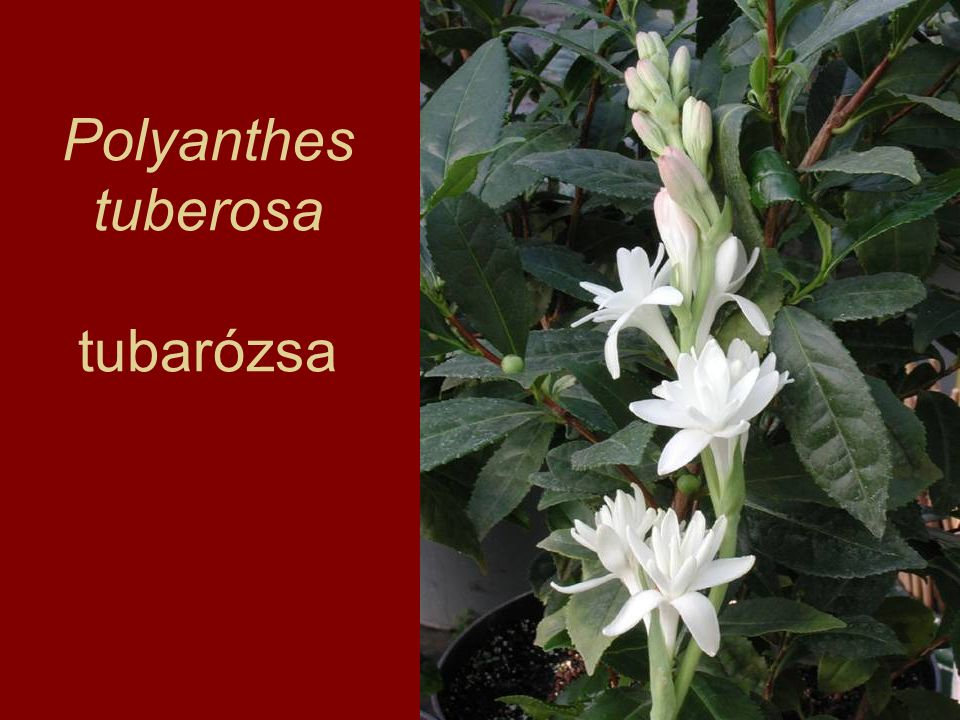 Polyanthes tuberosa tubarózsa