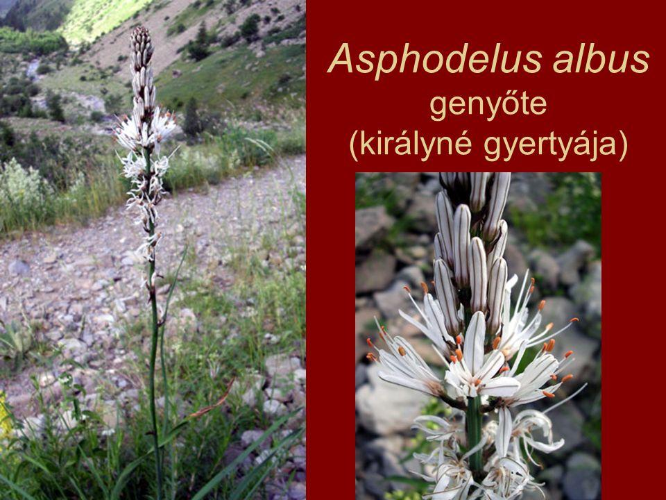 Asphodelus albus genyőte (királyné gyertyája)