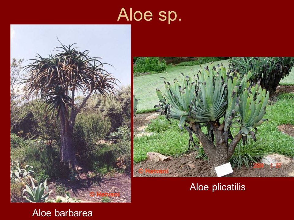 Aloe sp. Aloe barbarea Aloe plicatilis © Hatvani
