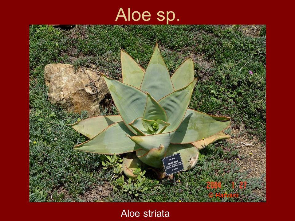 Aloe sp. Aloe striata © Hatvani