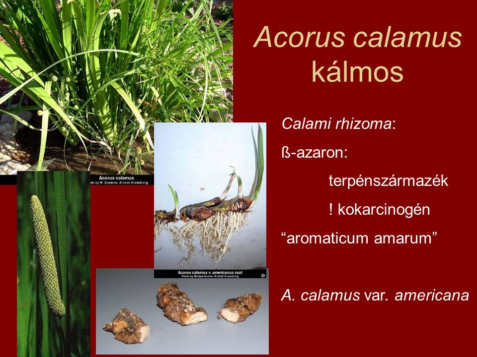 "Acorus calamus kálmos Calami rhizoma: ß-azaron: terpénszármazék ! kokarcinogén ""aromaticum amarum"" A. calamus var. americana"