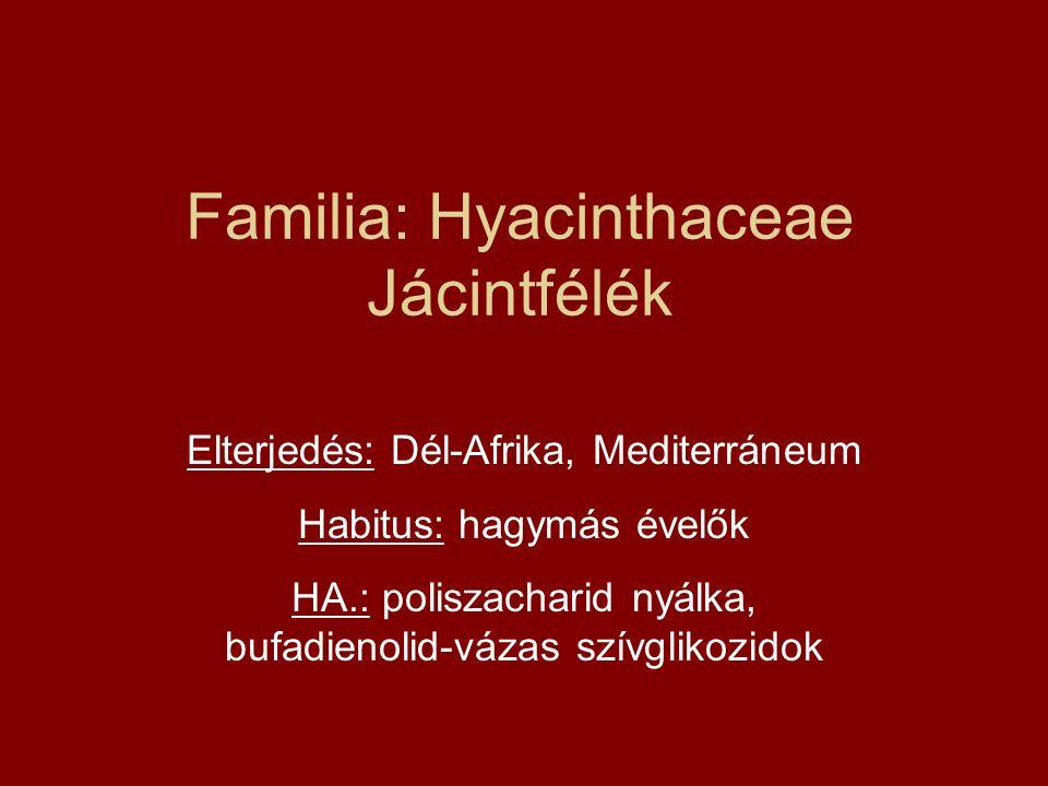 Familia: Hyacinthaceae Jácintfélék Elterjedés: Dél-Afrika, Mediterráneum Habitus: hagymás évelők HA.: poliszacharid nyálka, bufadienolid-vázas szívgli