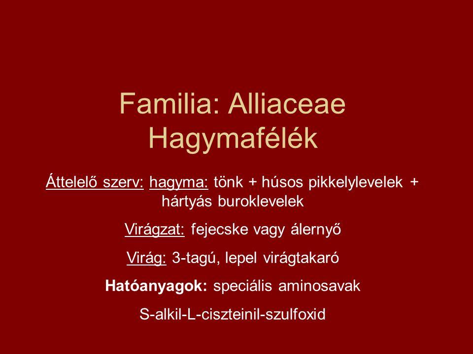 Familia: Alliaceae Hagymafélék Áttelelő szerv: hagyma: tönk + húsos pikkelylevelek + hártyás buroklevelek Virágzat: fejecske vagy álernyő Virág: 3-tag
