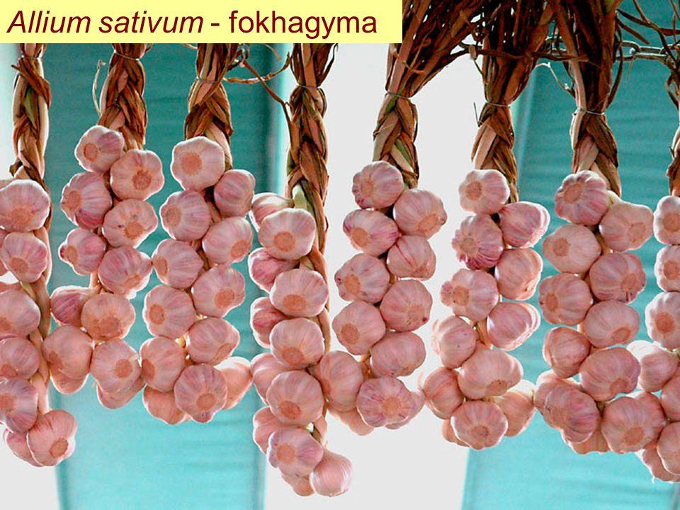 Allium sativum - fokhagyma
