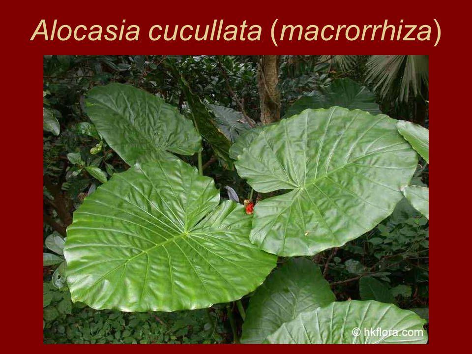 Colocasia esculenta táró