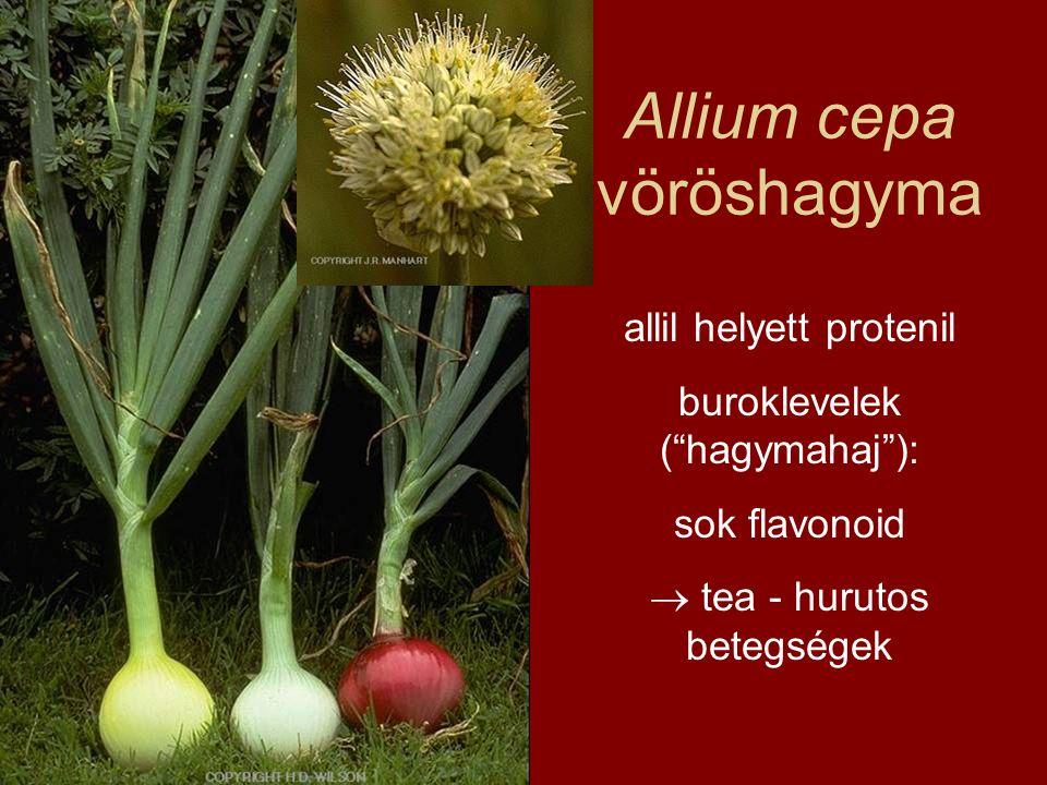 """Allium cepa vöröshagyma allil helyett protenil buroklevelek (""""hagymahaj""""): sok flavonoid  tea - hurutos betegségek"""