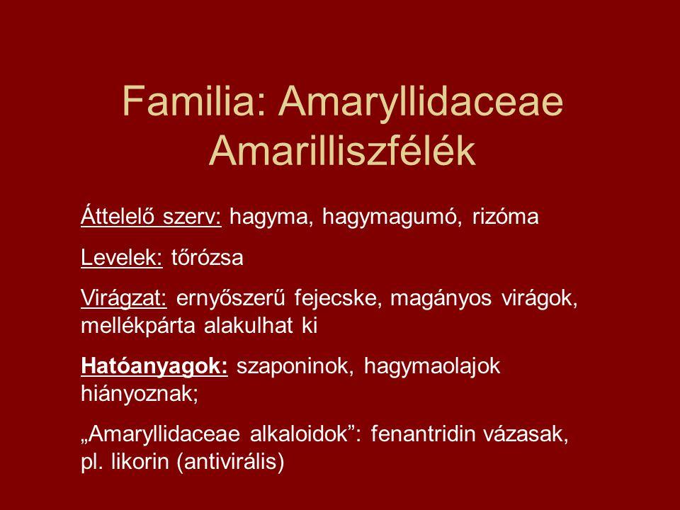 Familia: Amaryllidaceae Amarilliszfélék Áttelelő szerv: hagyma, hagymagumó, rizóma Levelek: tőrózsa Virágzat: ernyőszerű fejecske, magányos virágok, m