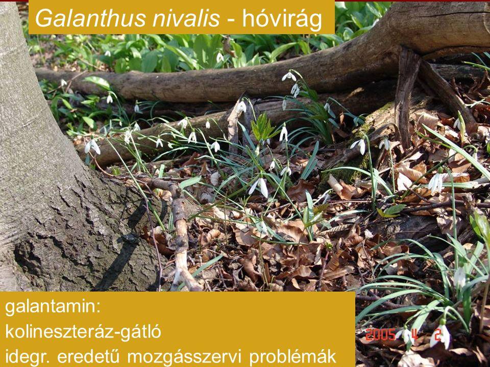Galanthus nivalis - hóvirág galantamin: kolineszteráz-gátló idegr. eredetű mozgásszervi problémák