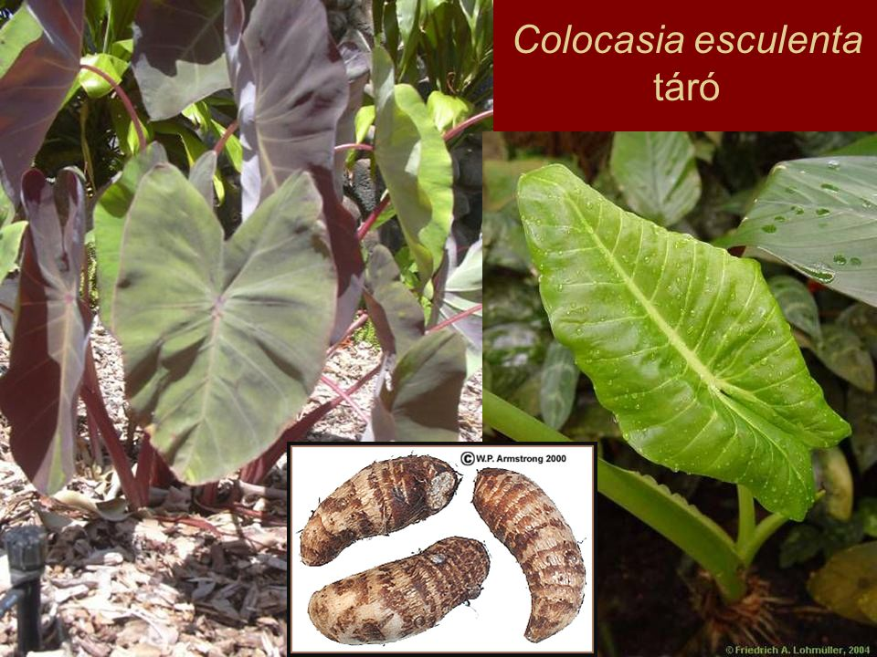 Familia: Smilacaceae Szmilaxfélék Habitus: trópusi liánok, félcserjék Levél: nyeles, hálózatos erezetű, levélalap kaccsá módosul Virág: kétivarú, apró Termés: bogyó Hatóanyag: szteroid szaponinok
