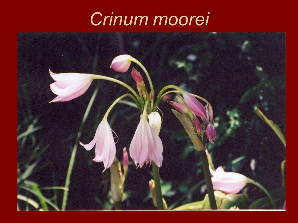 Crinum moorei