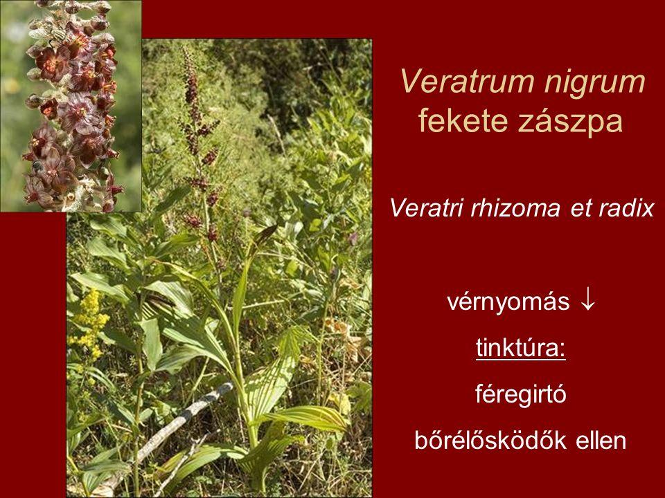Veratrum nigrum fekete zászpa Veratri rhizoma et radix vérnyomás  tinktúra: féregirtó bőrélősködők ellen