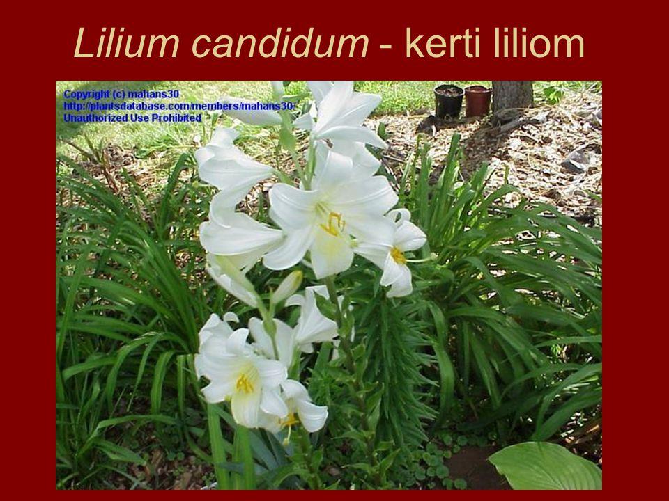 Lilium candidum - kerti liliom