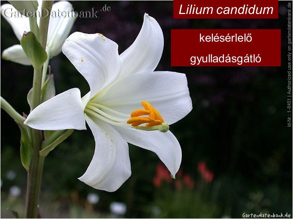 Lilium candidum kelésérlelő gyulladásgátló