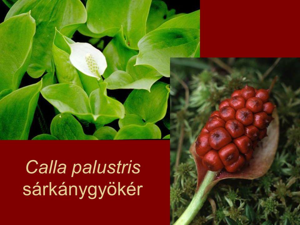 Familia: Agavaceae szubtrópusok (Amerika) arid területek – levélszukkulens, fás szteroidok fogamzásgátlók anyagcsere-fokozók