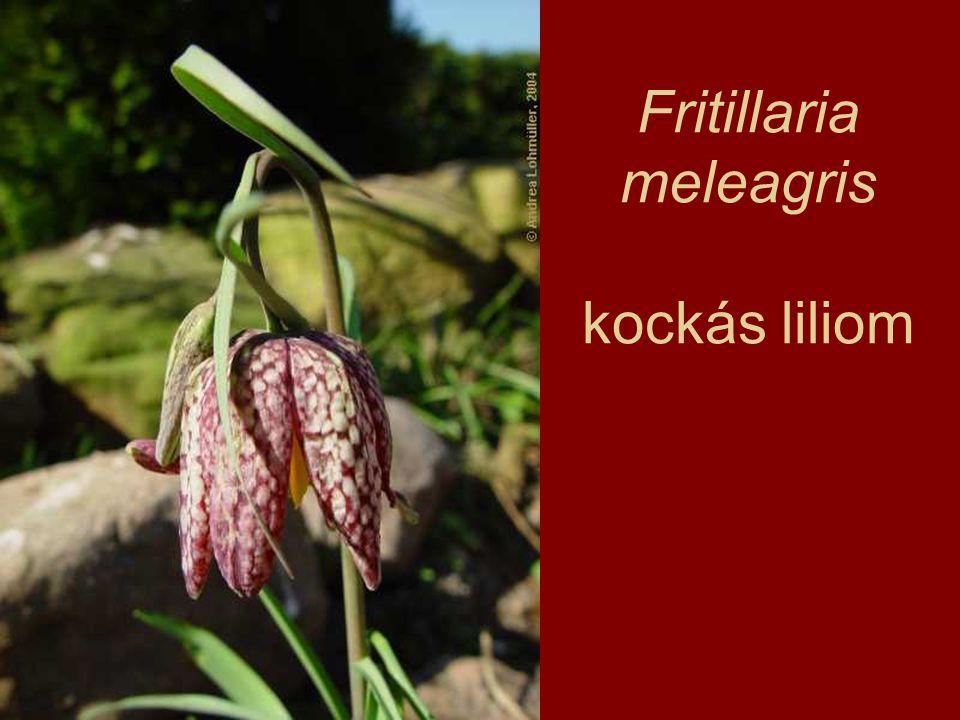 Fritillaria meleagris kockás liliom