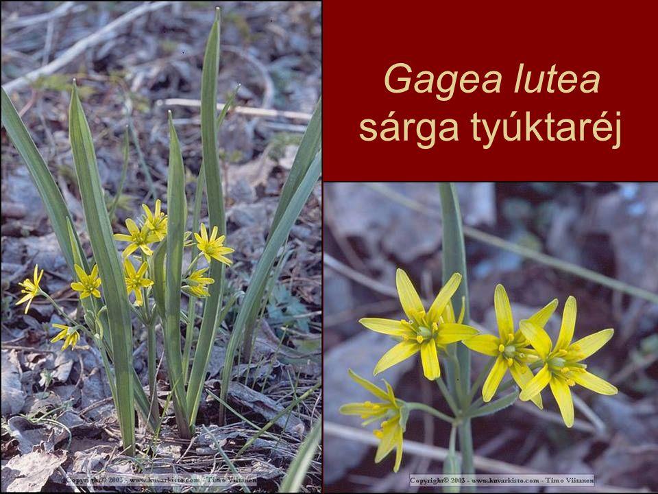 Gagea lutea sárga tyúktaréj