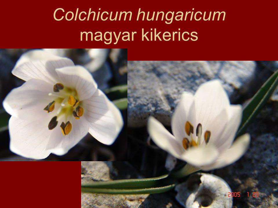 Colchicum hungaricum magyar kikerics