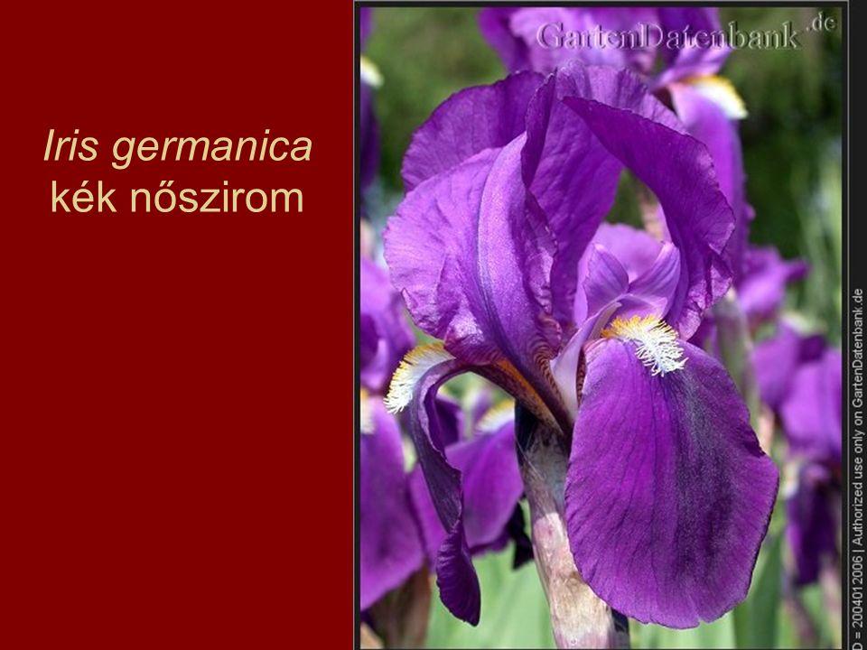 Iris germanica kék nőszirom